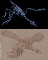 archaeopteryx_petit_350.jpg